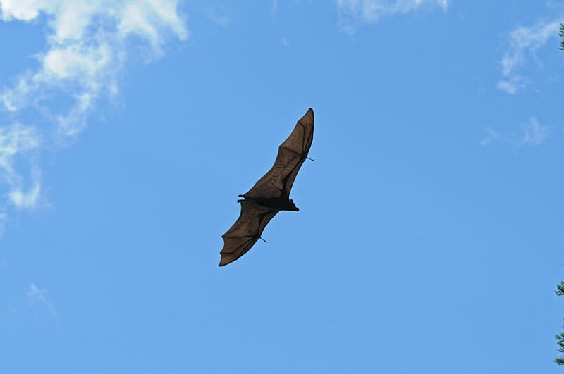 Wildlife of Katherine Gorge - Black flying fox