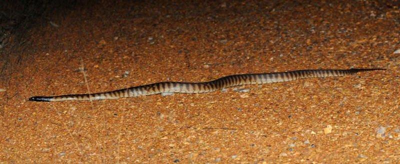 Back-headed python