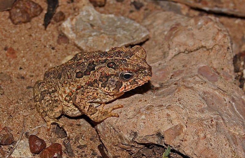 Juvenile Cane toad