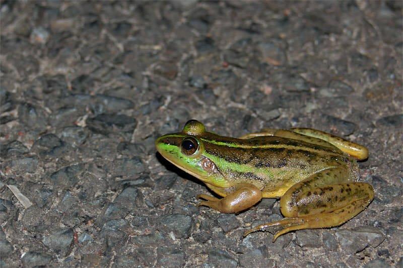 Dahl's aquatic frog