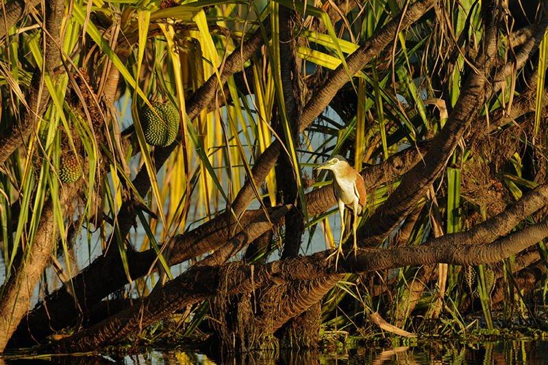 Wildlife of Kakadu National Park - Nankeen night heron