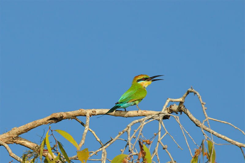 Wildlife of Kakadu National Park - Rainbow bee-eater
