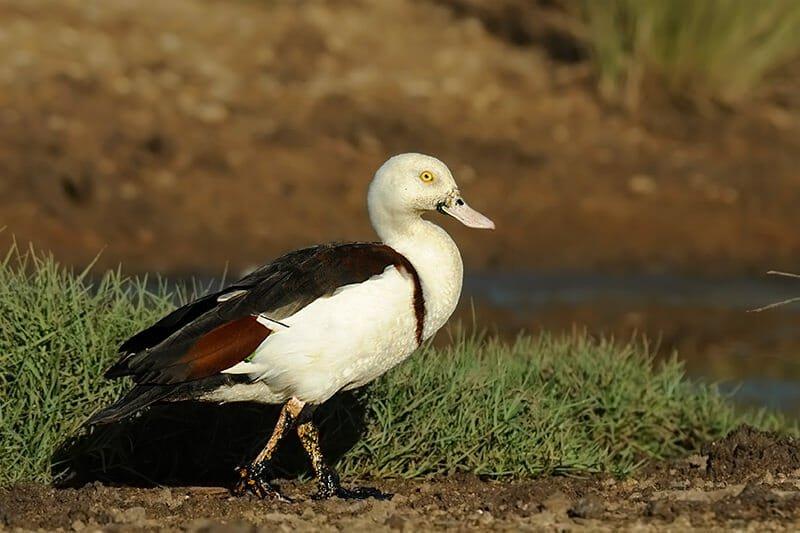 Raja shell duck