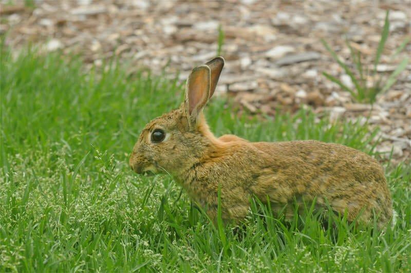 Feral rabbit in Centennial park