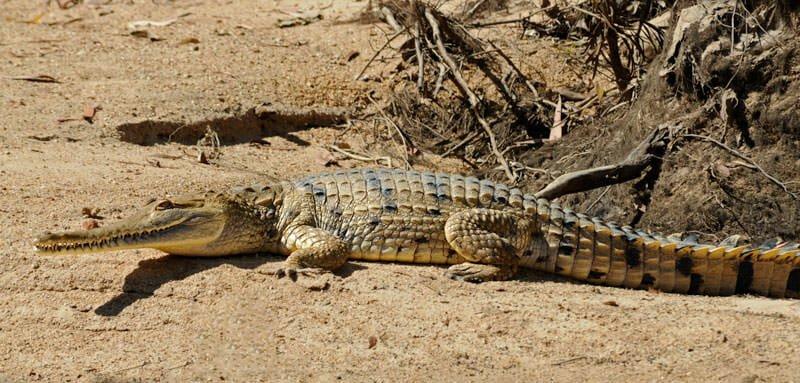 Fresh-water crocodile