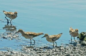 Sharp-tailed sandpiper at Sydney Olympic Park