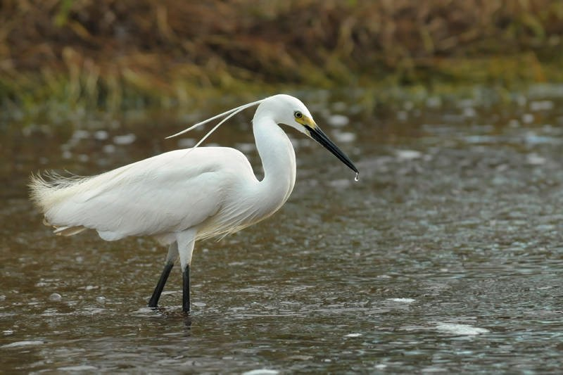Intermediate egret in breeding plumage