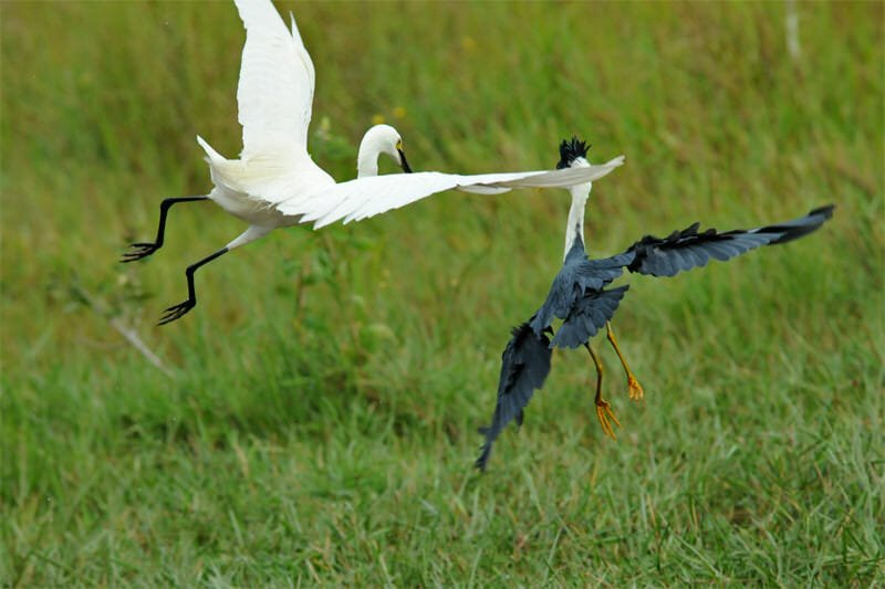 Intermediate egret and Pied heron sorting out their differences