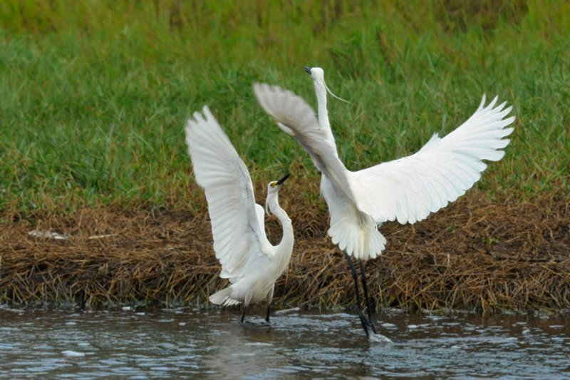 Intermediate egrets