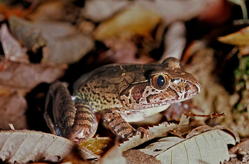 Wildlife in the Watagan Mountains - Giant barred frog