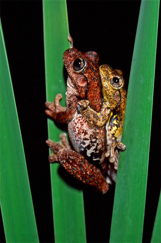 Love in cold blood - Peron's tree frogs in amplexus