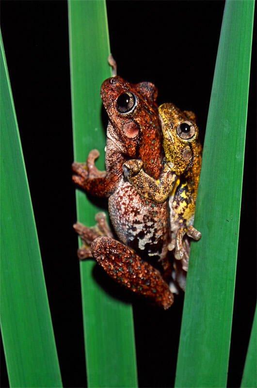 Peron's tree frogs in armplexus