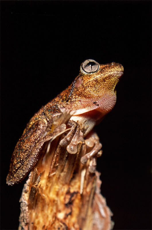 Peron's tree frog