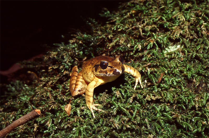 Stattering frog