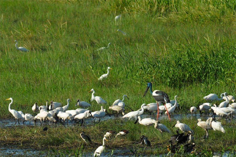 Wading bird community at Fogg Dam