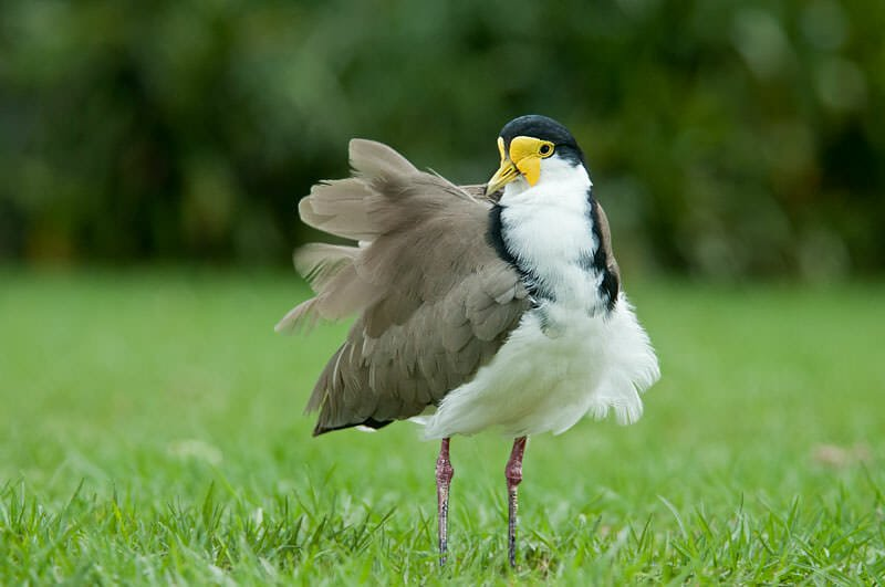 Masked lapwing in Sydney