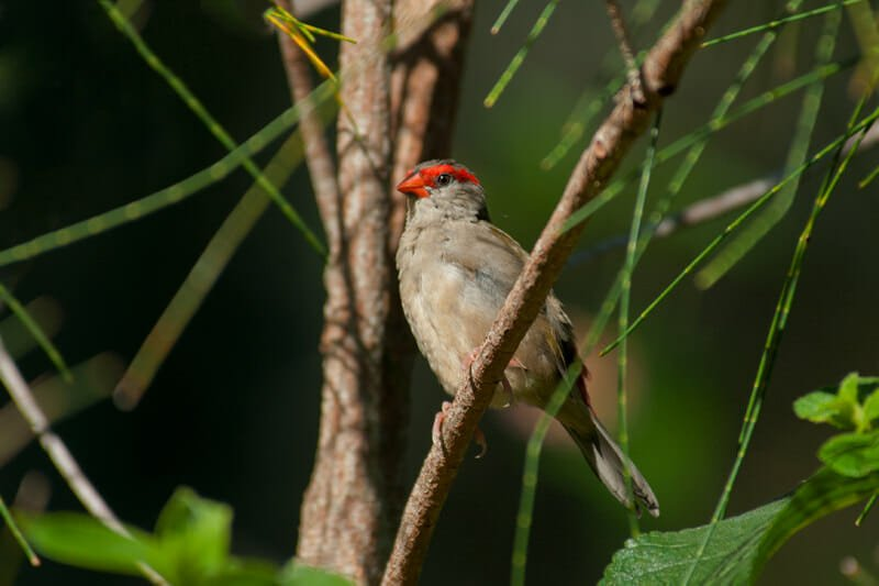 Red-browed finch in Sydney