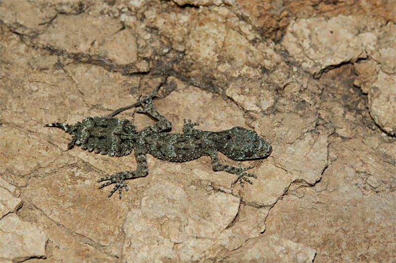 Moritz Leaf-tailed gecko