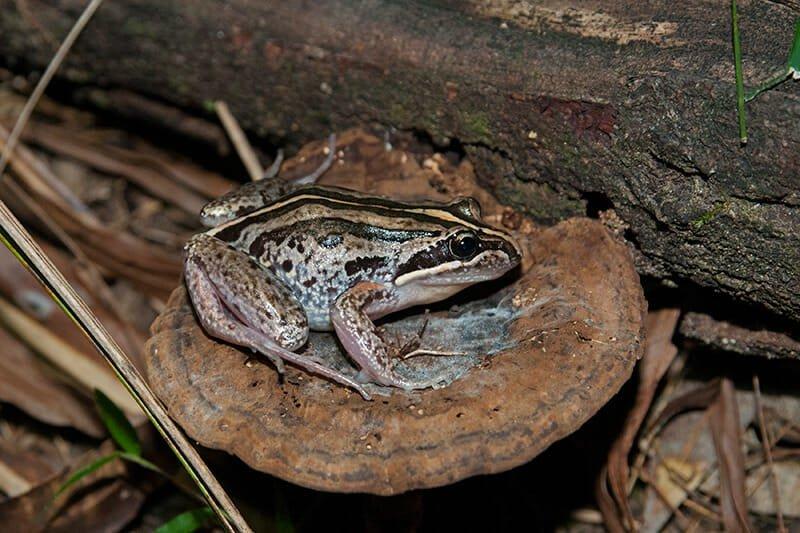 Striped-marsh-frog-Smart-Object-11.jpg