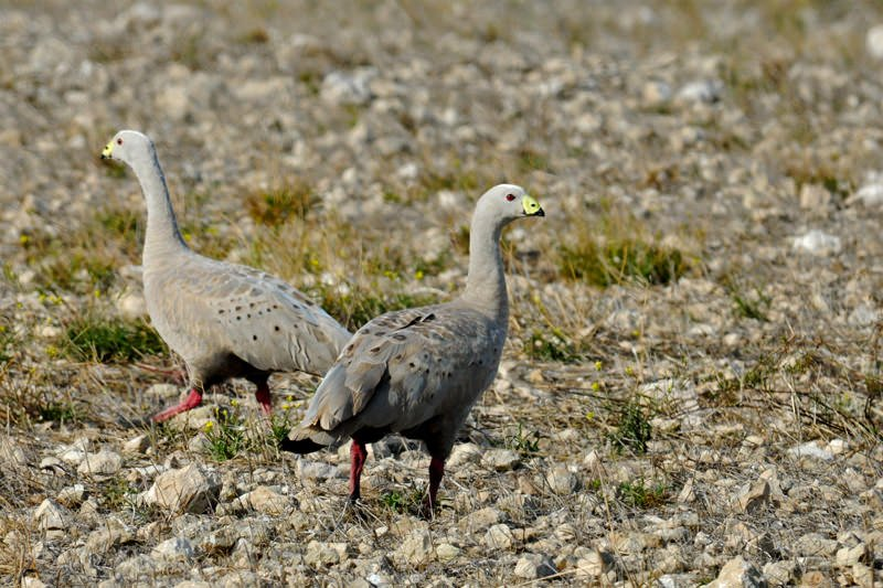 Birdwatching in Elliston, South Australia - Cape Barren geese