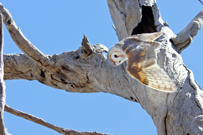 Wildlife of Eyre Peninsula - Barn owl