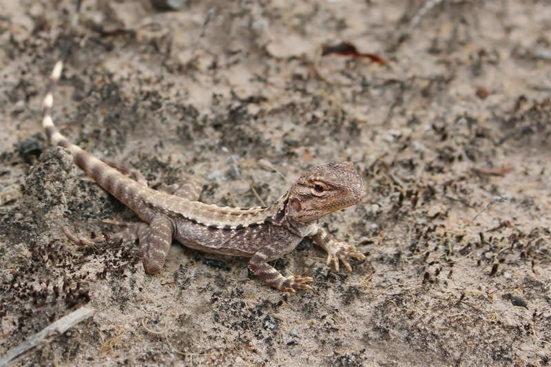 Wildlife of Eyre Peninsula - Bicycle lizard (female)