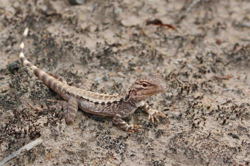 Bicycle lizard (female)