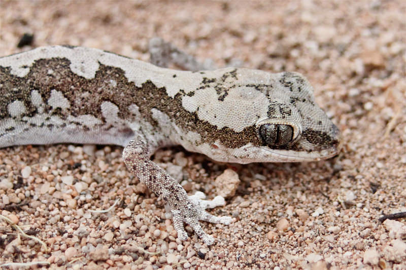 Wildlife of Eyre Peninsula - Western stone gecko