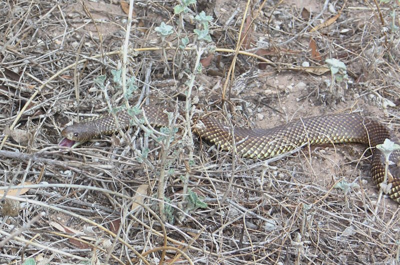 Wildlife of Eyre Peninsula - Brown snake