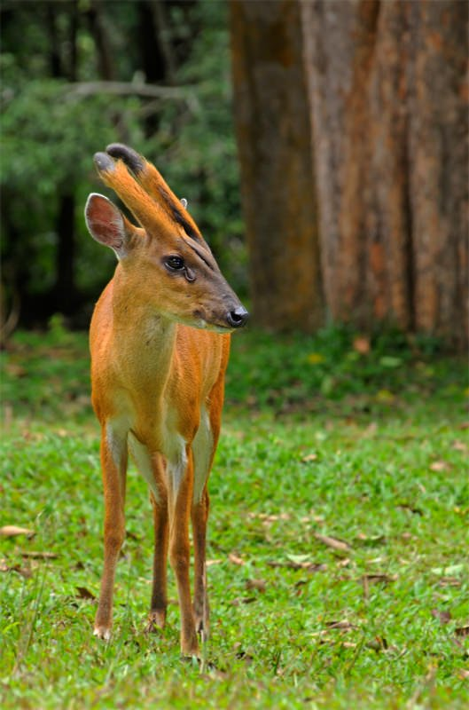 Barking deer in Khao Yai National Park