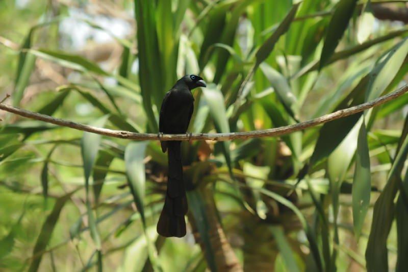 Black treepie