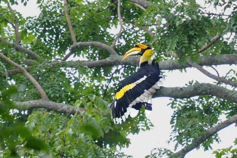 Great hornbill preeining in Khao Yai National Park