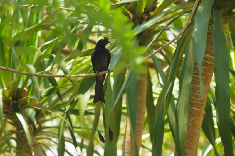 Racket-tail drongo