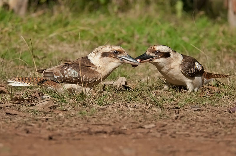 Laughing kookaburras squabbling over lunch