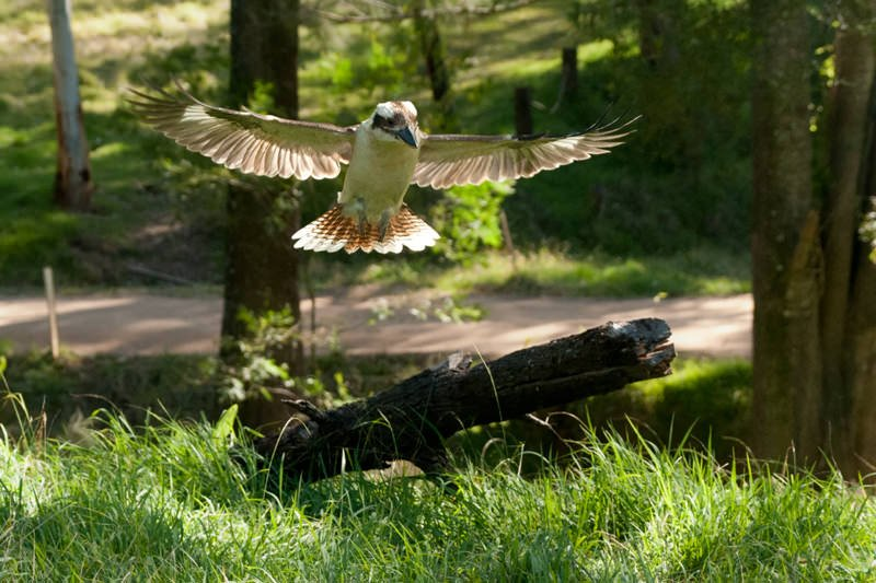 Laughing kookaburra swooping in