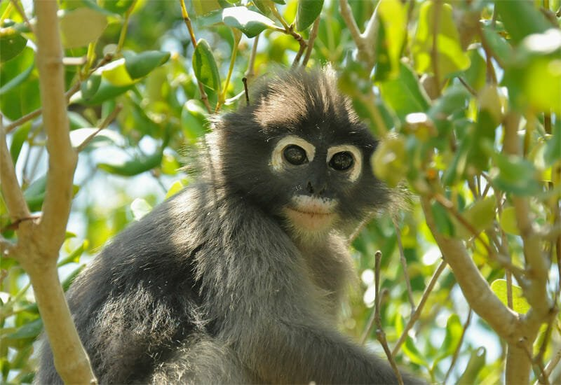 Dusky langurs of Khao Sam Roy Yot - Dusky or Spectacled langur