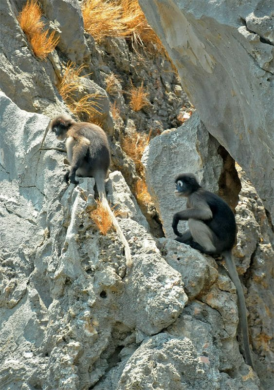 Dusky langurs of Khao Sam Roy Yot