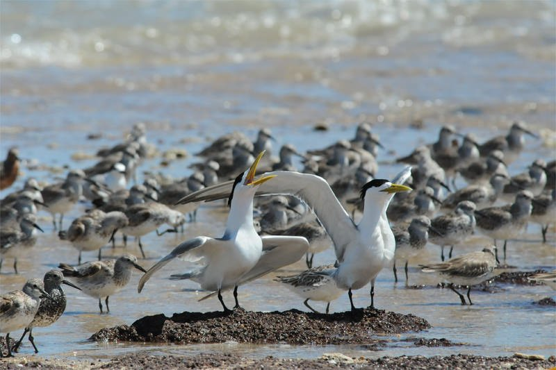 Great crested terns displaying