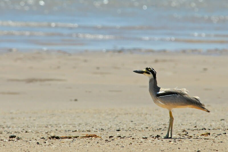 Wildlife watching in Darwin - Beach stone curlew