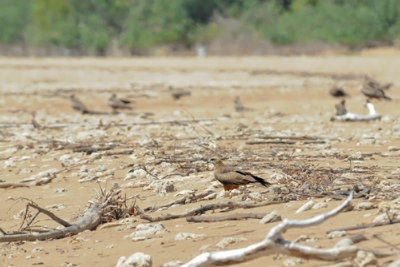 Wildlife of Darwin Lee Point- Black kite on the beach