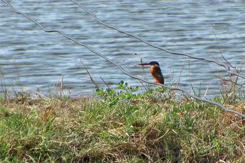 Wildlife watching in Khao Sam Roy Yot - Blue-eared kingfisher