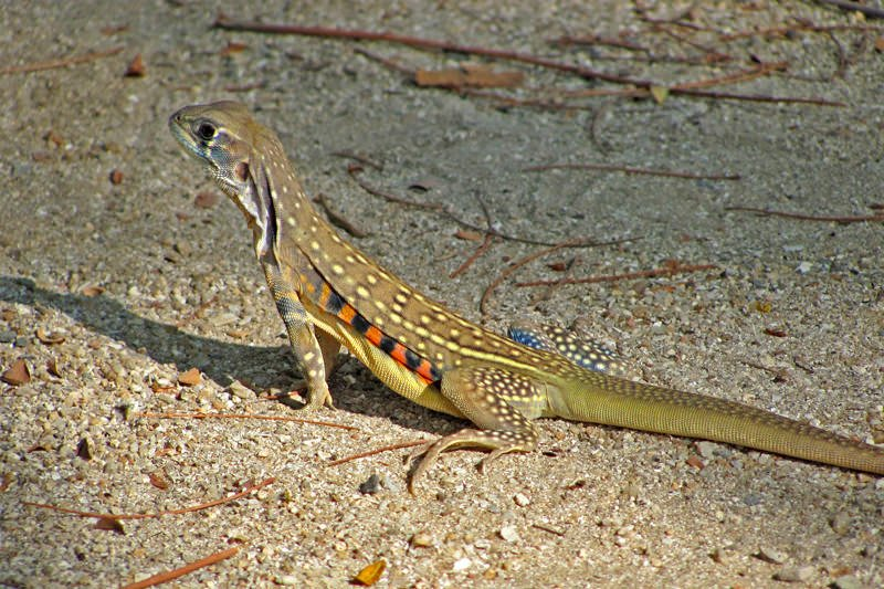 Wildlife watching in Khao Sam Roy Yot - Butterfly lizard