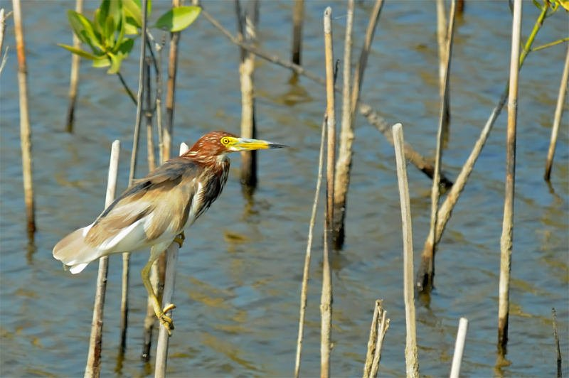 Wildlife watching in Khao Sam Roy Yot - Chinese pond heron in breeding plumage