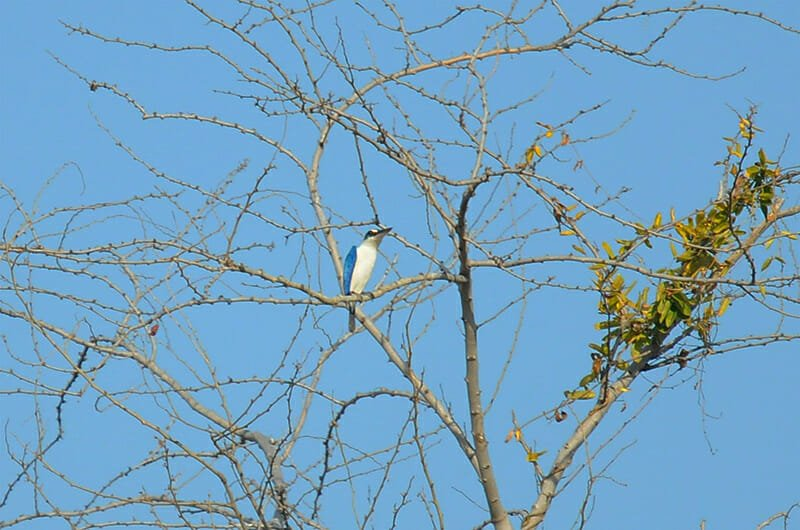 Wildlife watching in Khao Sam Roy Yot - Collared kingfisher