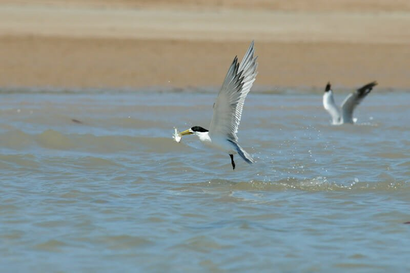 Great crested tern with its catch