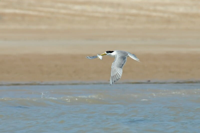 Great crested tern making a quick getaway