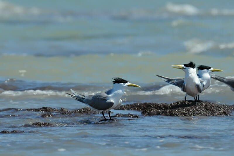 Great crested terns