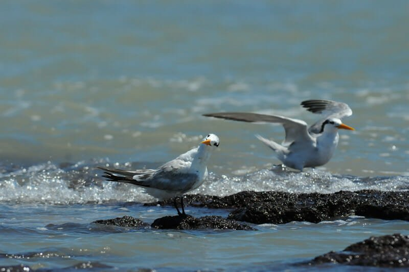 Great crested tern yearlings
