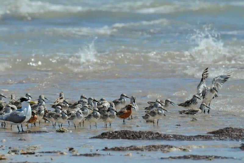 Red knots among the flock of Great knots