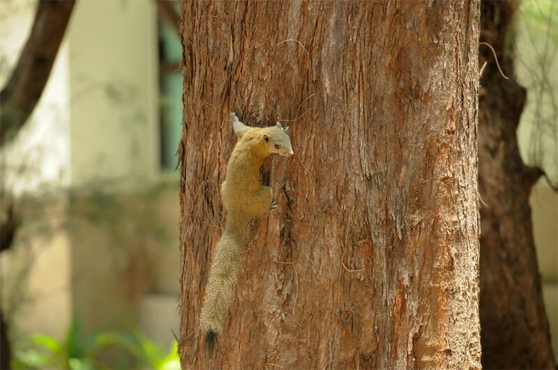 Wildlife watching in Khao Sam Roy Yot - Grey-bellied squirrel